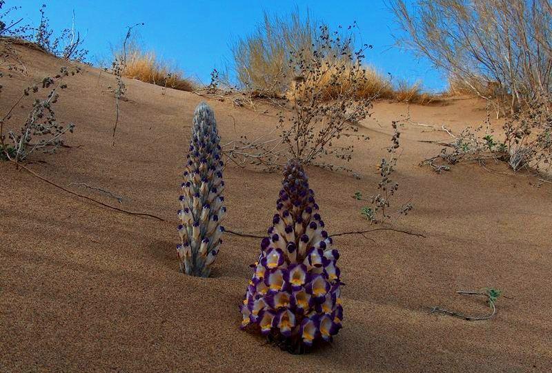 Цистанхе солончаковая. Алтын-Емельский национальный парк.