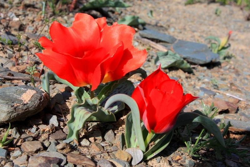 Tulipa Greigi.