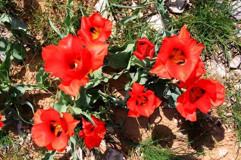 Tulips Greigi.