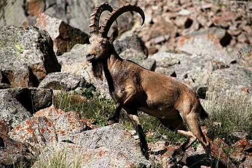 Архар - горный козел.