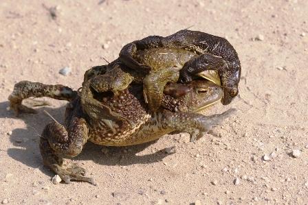Серая жаба - Bufo bufo.