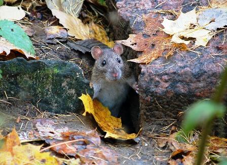 Мышь лесная.