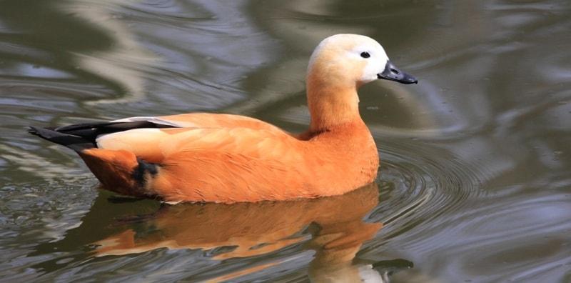 Birds on lake Alakol