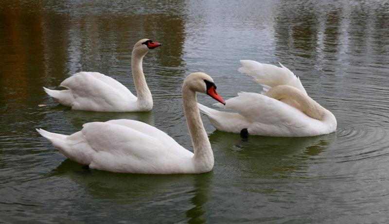 Swans on lake Alakol.