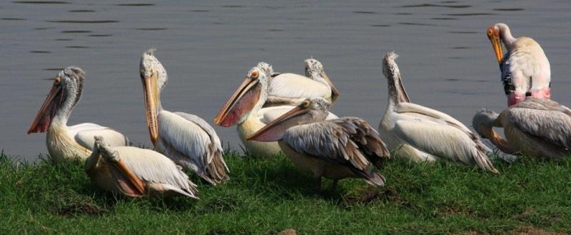 Серый пеликан.