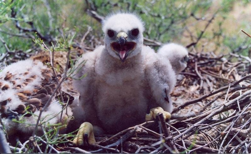 Птенец степного орла.