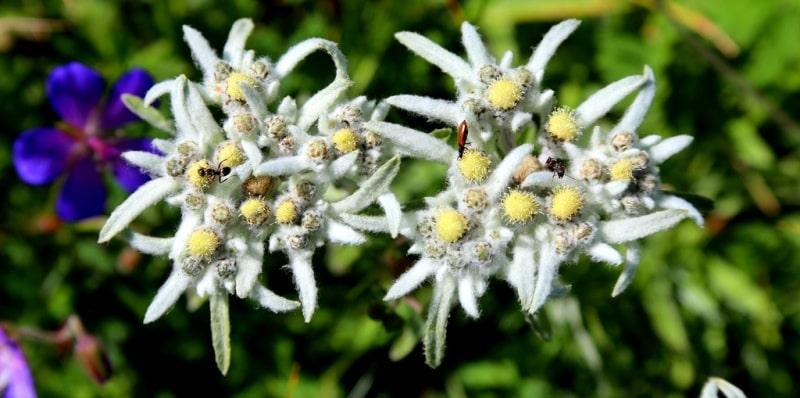 Common Edelweiss (Leontopodium alpinium).