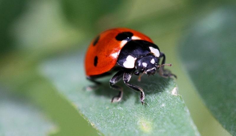 Ladybird (Coccinellidae).