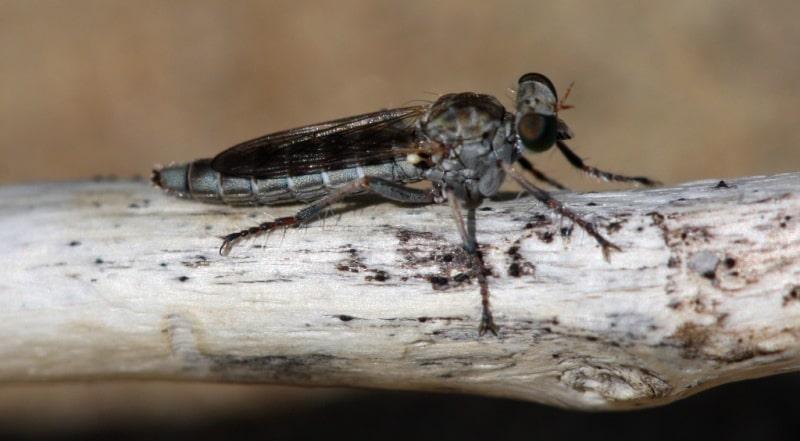Mormon cricket (Tettigonioidea).