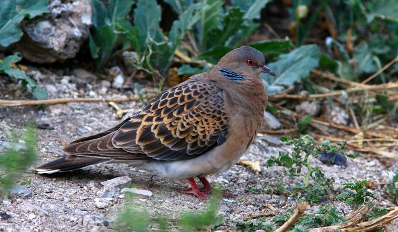 European Turtle Dove  (Streptopelia turtur (Linnaeus, 1758).