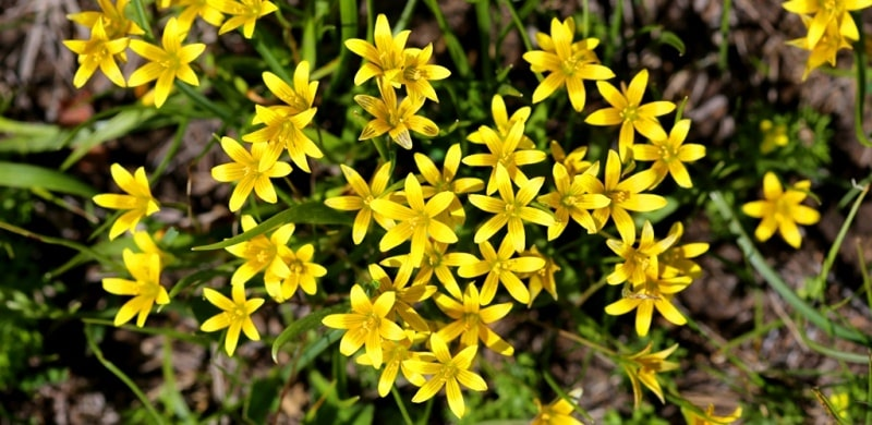 Yellow star of Bethlehem.