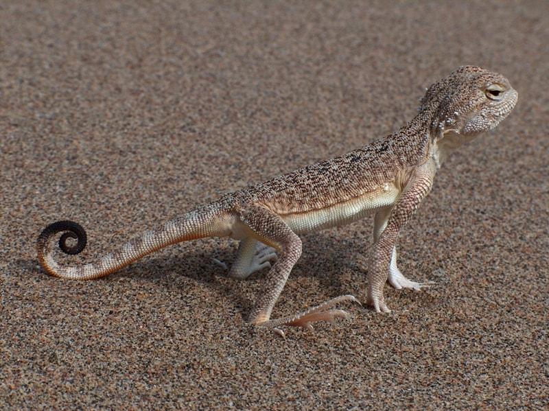 Altyn-Emel national park. Agama lizard.