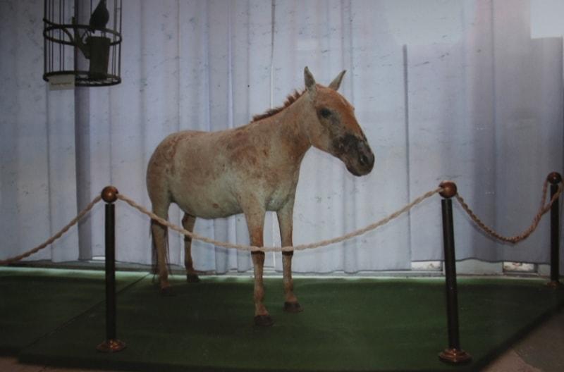 Дикая лошадь Пржевальского (Equus Przewalskii). Фотография из музея Пржевальского в Караколе.