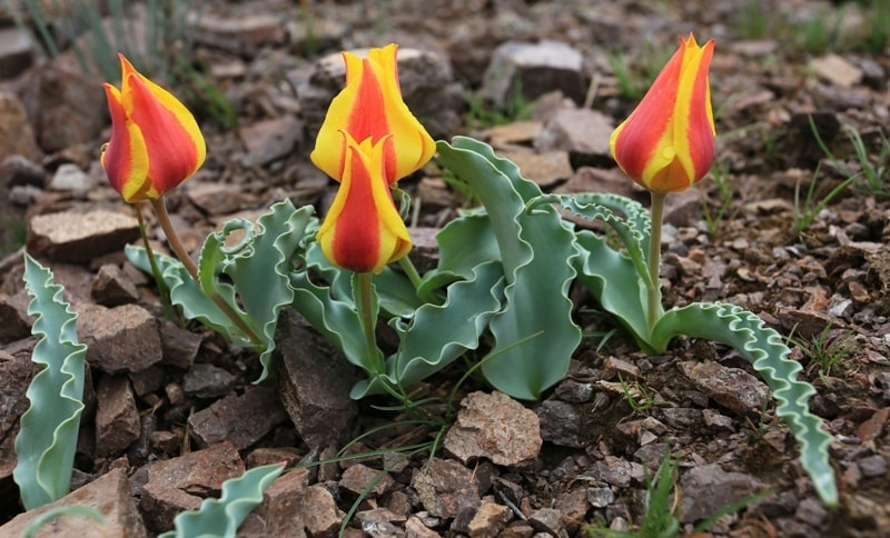 Тюльпан Альберта. Tulipa albertii. Окрестности Капшагайского водохранилища. Алматинская область.