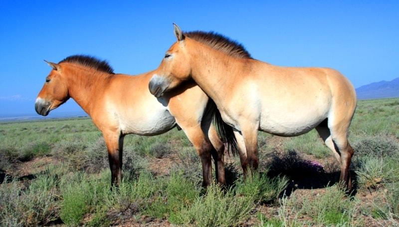 Лошадь Пржевальского в национальном парке Алтын-Емель.