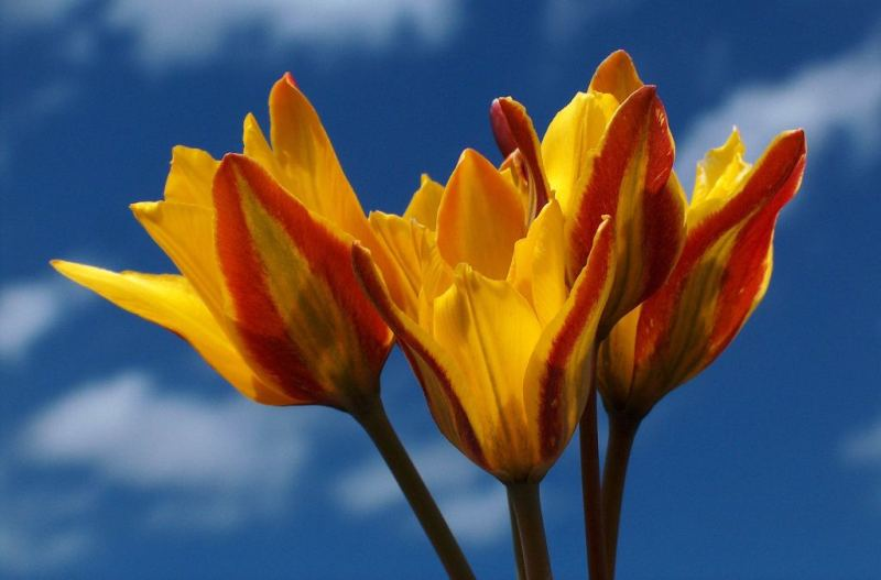 Tulipa tetraphylla Regel.