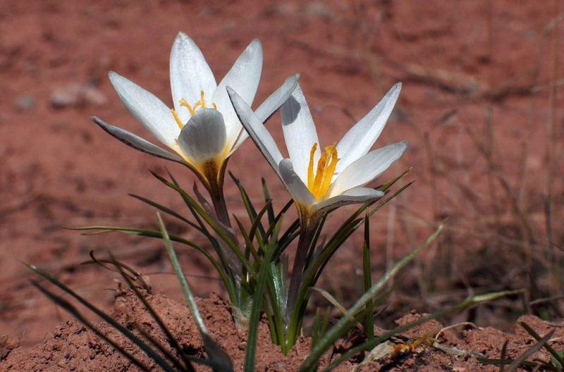 Crocus alatavicus Regel et Semen.