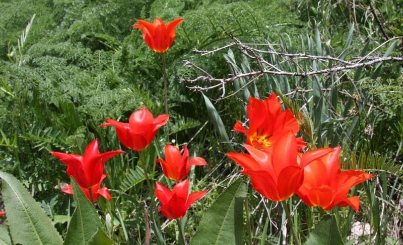 Tulipa Ostrovckiana Regel.