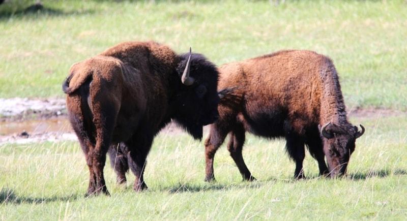 Bisons in Karkaraly national park.