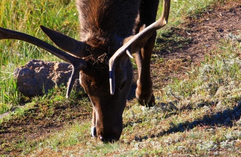 Siberian stag in Karkaraly park.
