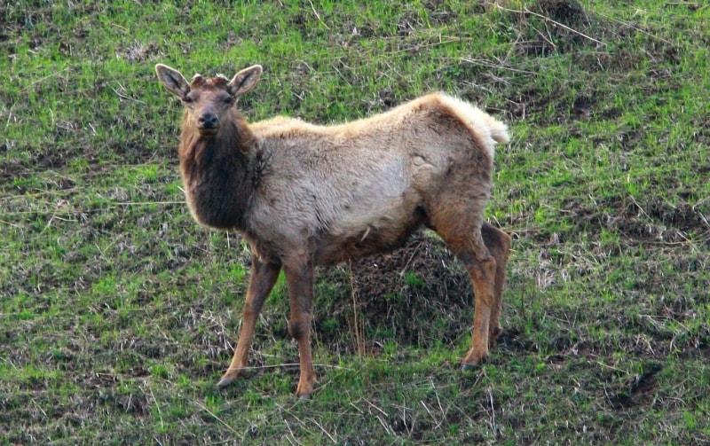 Маралы в Катон-Карагайском национальном природном парке.