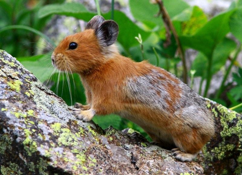 Пищуха в Катон-Карагайском национальном природном парке.