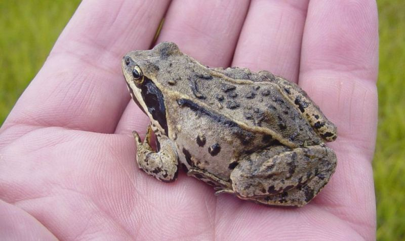 Лягушка из Холодной долина в окрестностях озера Маркаколь.