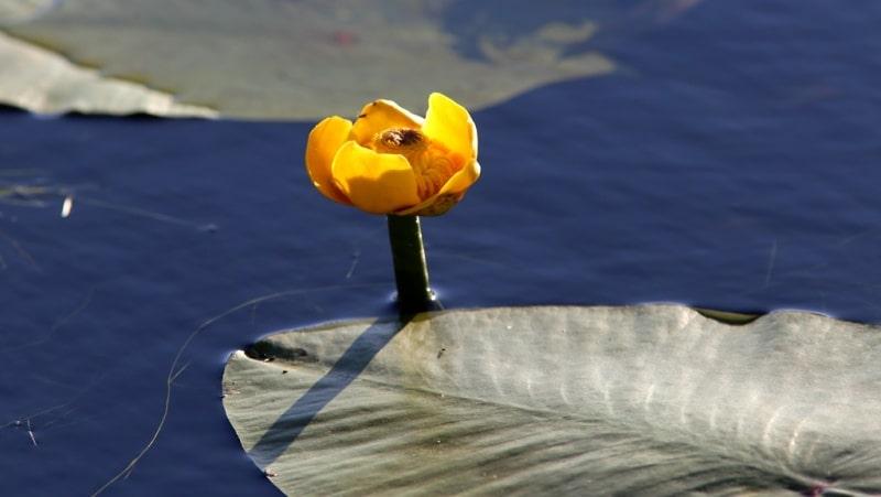 Кубышка жёлтая, или кувшинка жёлтая. Núphar lútea.