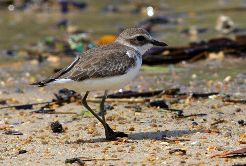 Большеклювый зуек. Charadrius leschenaultii - Greater Sand Plover.