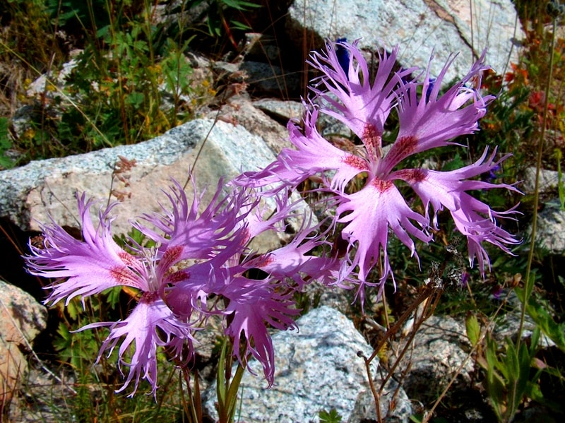 Гвоздика пышная - Dianthus superbus L.