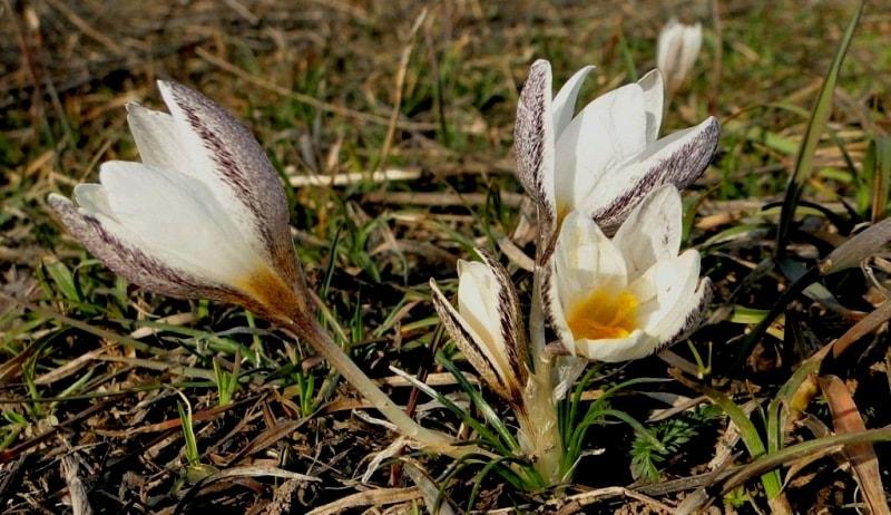 Crocus alatavicus Regel et Semen. Шафран алатавский.