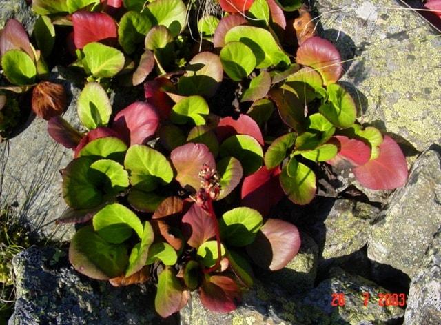 Листья бадана толстолистого.