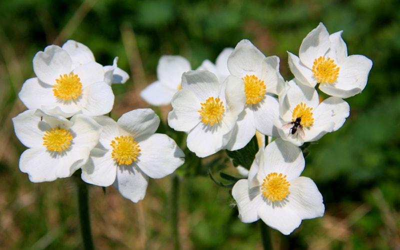 Ветреница вытянутая -  Anemone  protracta (Ulbr.) Juz.