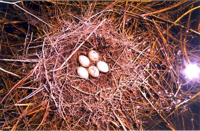 Гнездо с кладкой яиц озерного гуся.