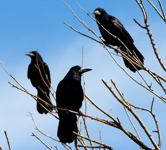 Ворона имеет ареал распространения по всему Наурзумскому заповеднику.