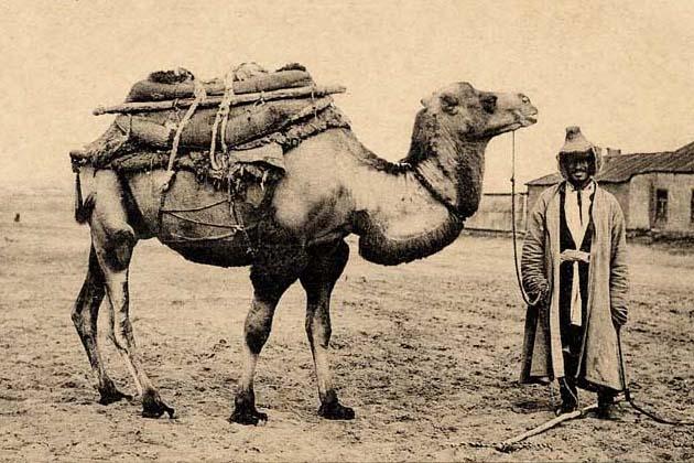 Экспедиционный верблюд для транспортировки грузов и снаряжения.