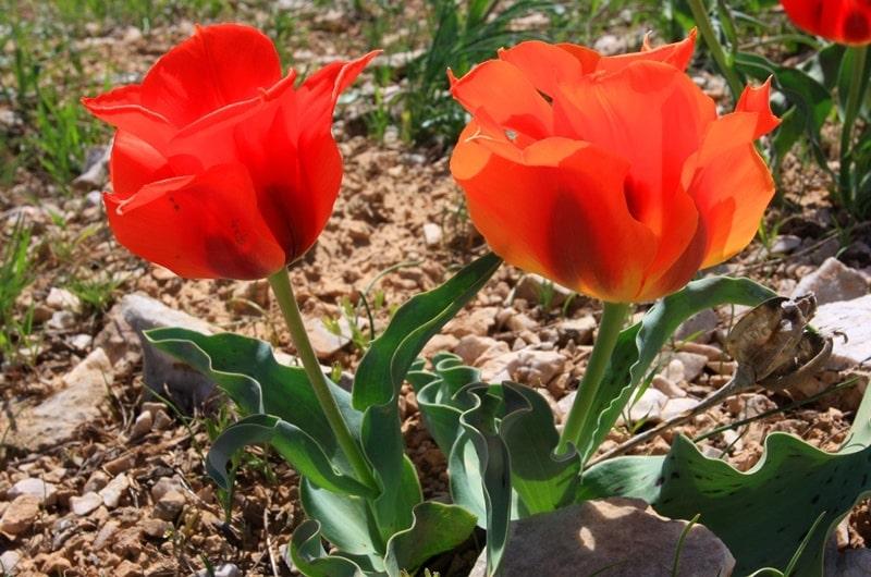 Тюльпан Грейга.