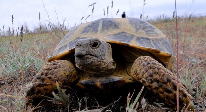 Мангышлакская черепаха.
