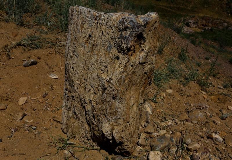 Окаменевшее дерево секвойя. 80 млн. лет.