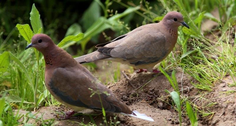 Turtle-doves.