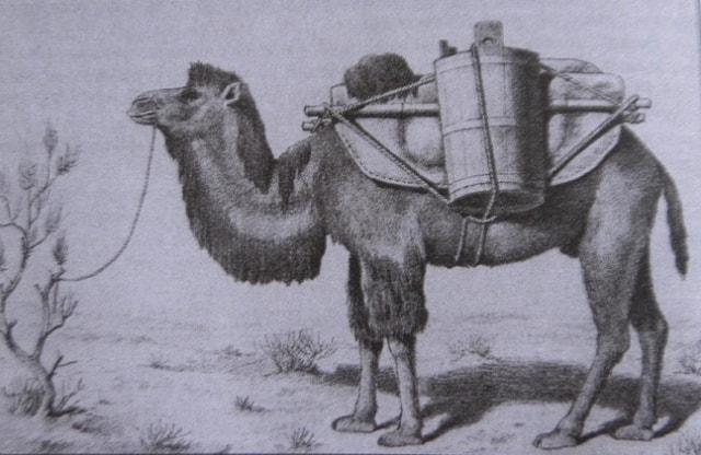 Вьючный верблюд.