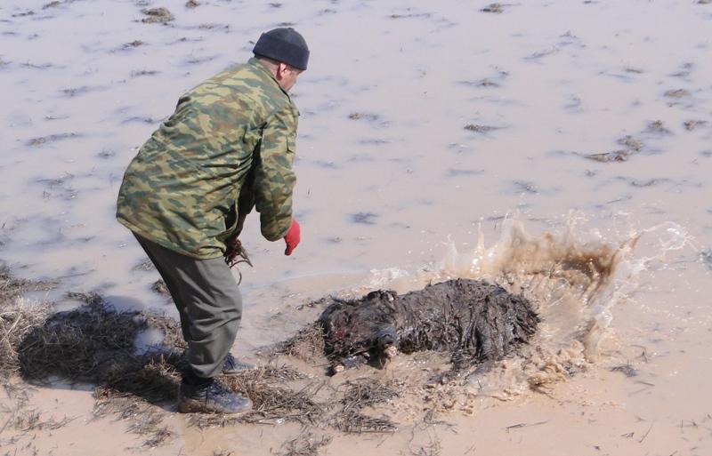 К самому началу состязаний был зарезан черный козел, примерно на 40 килограммов весом, передние ноги отрезаются до сустава, также удаляется и голова.