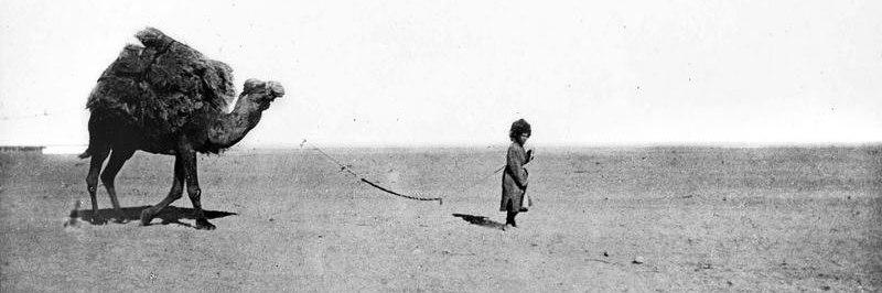 Туркмен перевозит камыш на верблюде. Начало XX века.