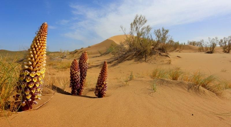 Flora of Kyzyl-Kum desert.