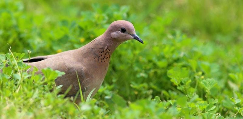 Turtle-dove. Bukhara.