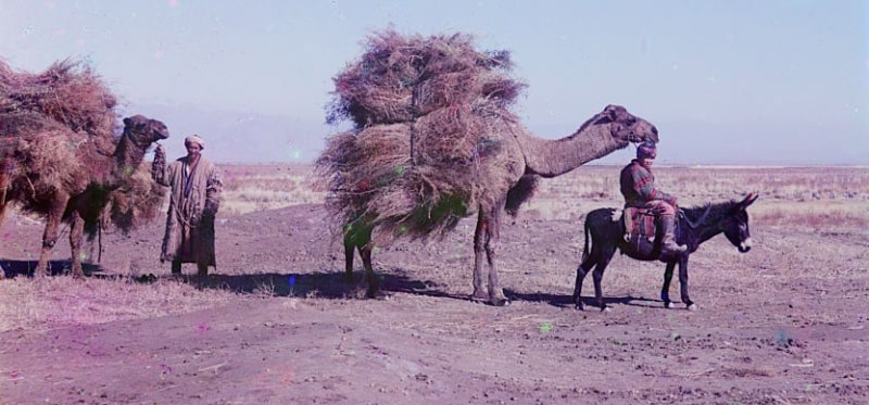 S. M. Prokudin-Gorsky. The caravan of camels carrying a prickle for a forage. January, 1907.