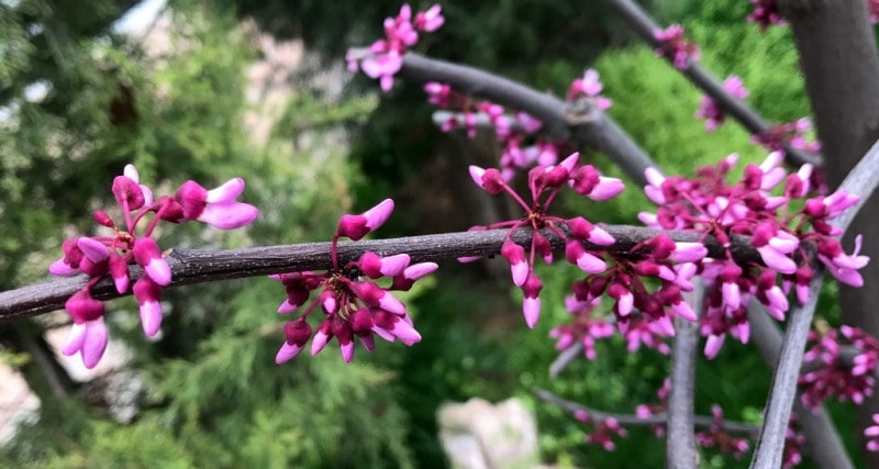 Flowers of a Redbud (Cercis). Samarkand.